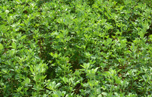 alfalfa feed on dairy farms