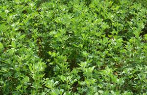 alfalfa feed on dairy farms