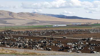 dairy producing piles of manure