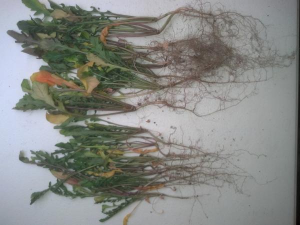 Arugula plant resized 600