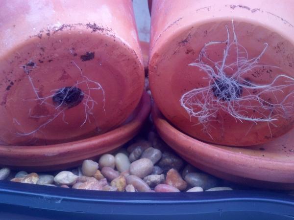 Arugula roots resized 600